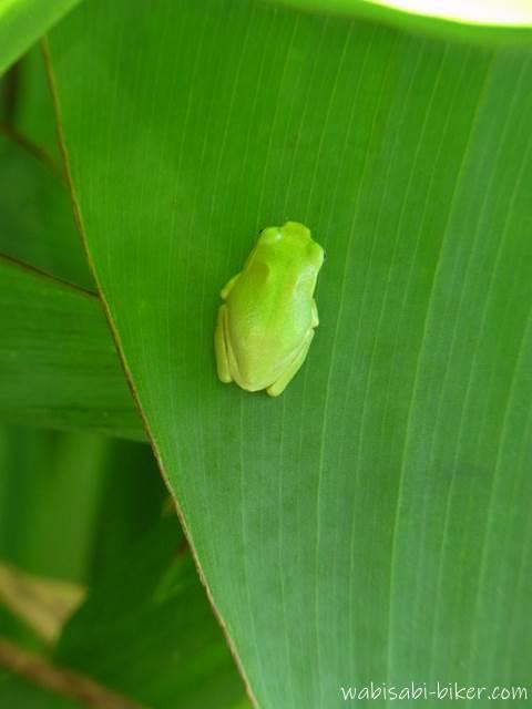 葉の上のアマガエル