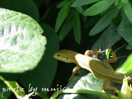 葉の影に潜むトカゲ