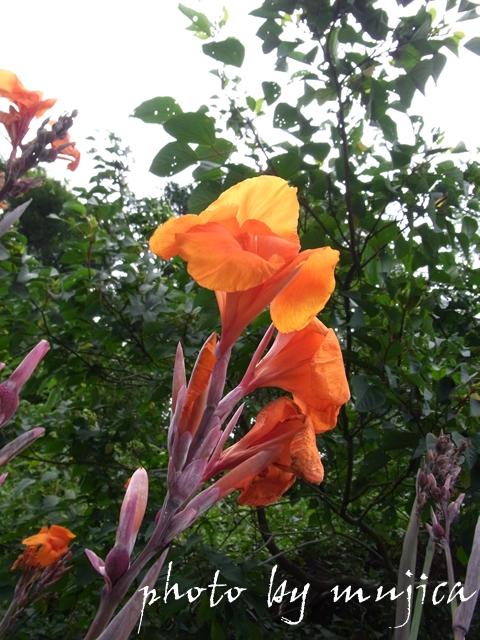オレンジ色のカンナ