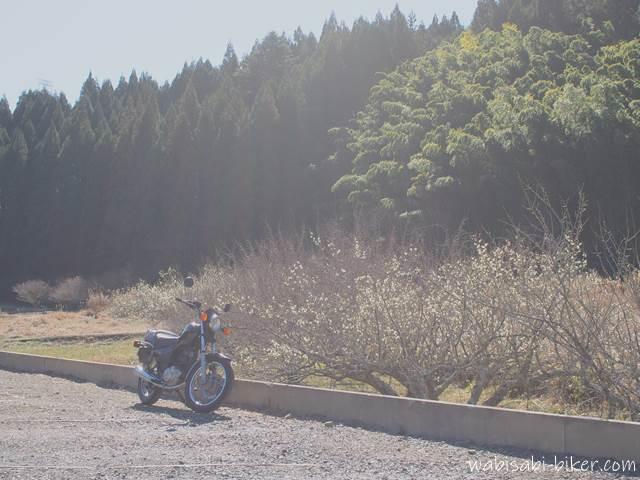 逆光で撮った梅とバイク写真