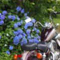 邪念に惑わされたアジサイとのバイク写真☆20年目のビラーゴ