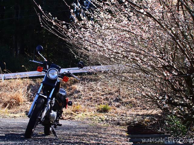 梅とバイク