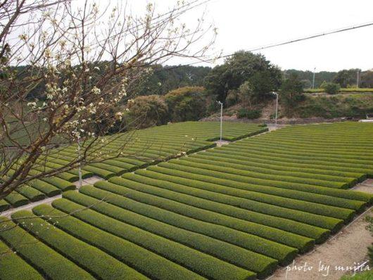 新芽が出始めた茶畑