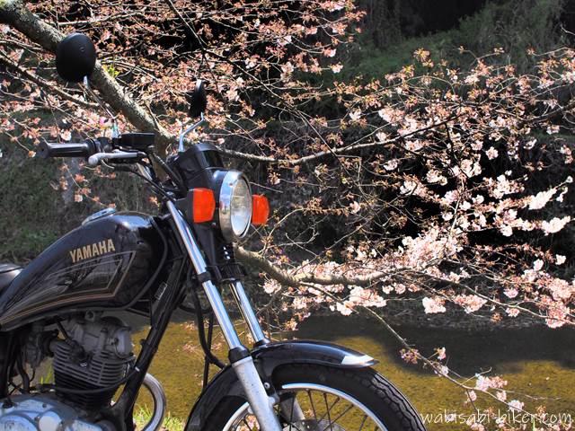 オートバイと桜