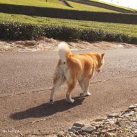 茶畑を散歩する犬