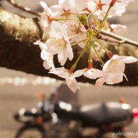 上から見た桜とオートバイ