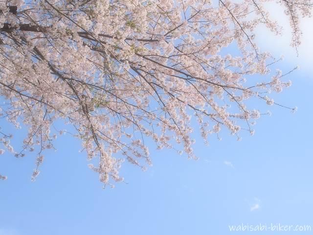 見上げた桜と青空