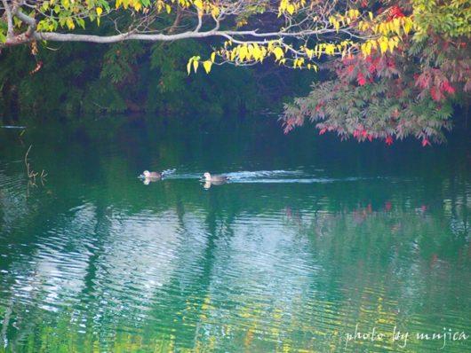 紅葉した池を泳ぐ水鳥
