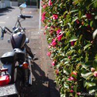 サザンカとオートバイ