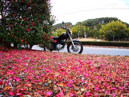 山茶花の花びらとオートバイ