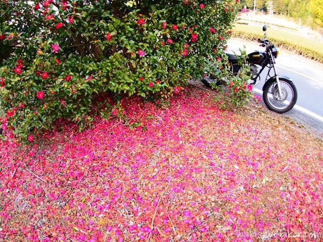 バイク写真 サザンカの花びらとオートバイ