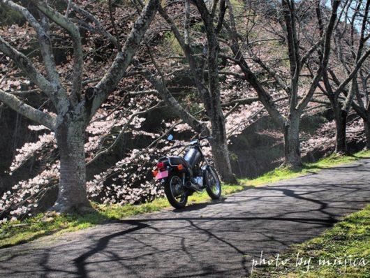 SR125と桜の枝