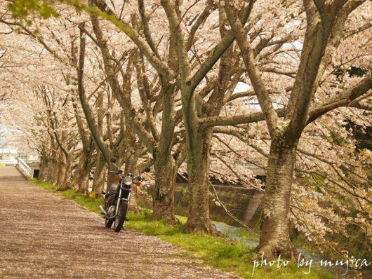 SR125と桜並木