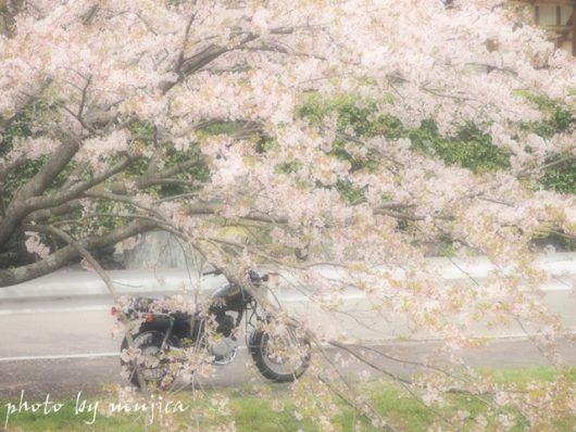 桜に埋もれたSR125