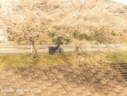 SR125と桜