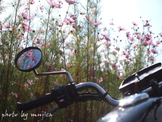 コスモスとバイク