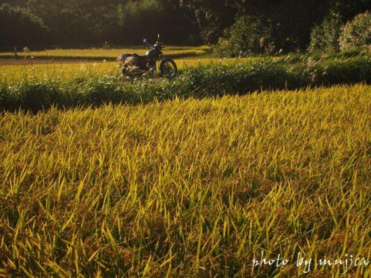 秋の稲穂とSR125