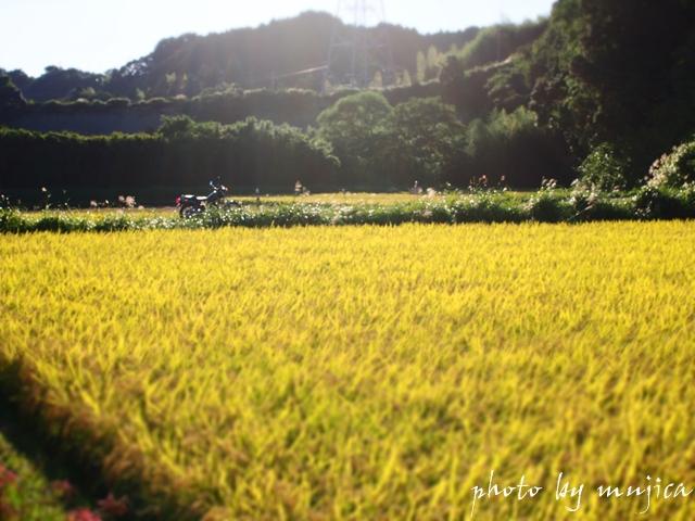 稲穂とバイク