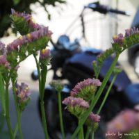 スターチス越しのオートバイ