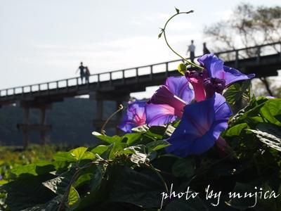 琉球アサガオと蓬莱橋