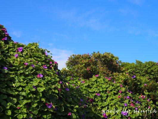 青空と琉球アサガオ