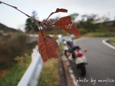 枯葉とvirago250