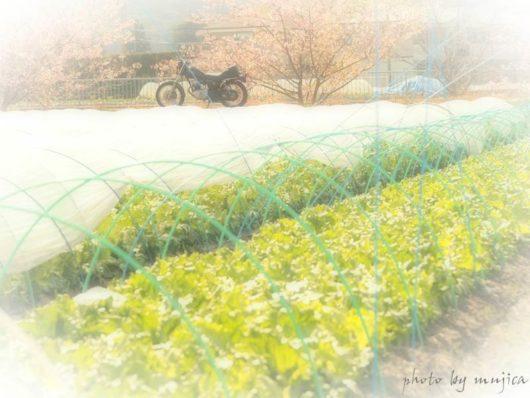 レタス畑越しの桜とバイク