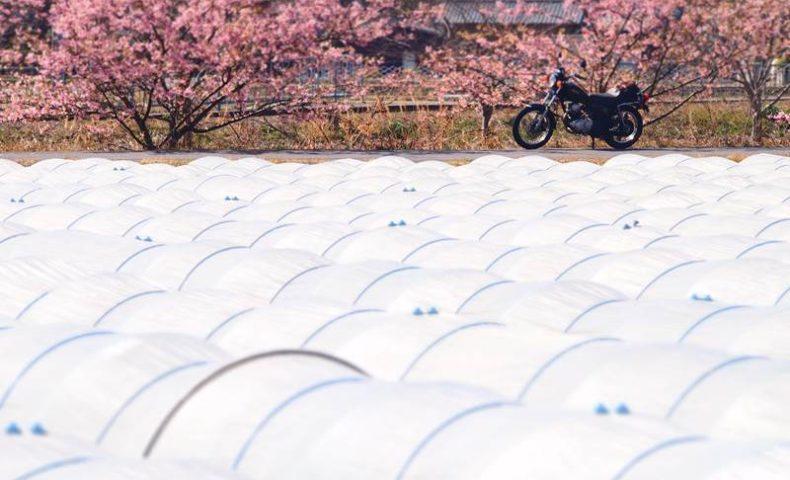 ビニールハウス越しの桜とバイク