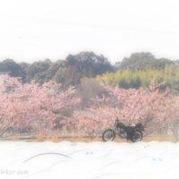 レタスのビニールハウス越しの桜とバイク
