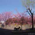 掛川桜と、バイク写真☆YAMAHA SR125
