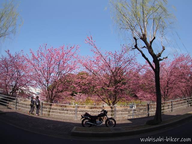 掛川桜とバイクのある風景