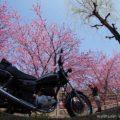 【セルフタイマー】12秒のすまし撮り☆掛川桜とYAMAHA SR125