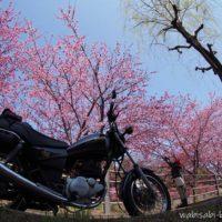 掛川桜とオートバイ