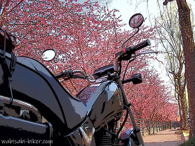 オートバイと掛川桜
