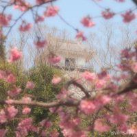 掛川城と掛川桜