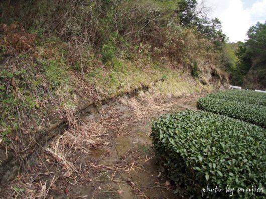 崖の一部と茶畑