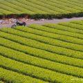 年に一度の期間限定バイク写真テーマ【萌える茶畑】とYAMAHA SR125