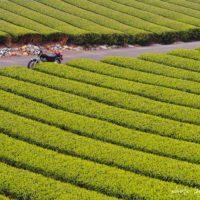 新緑の茶畑とオートバイ