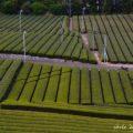萌える茶畑とバイクのある風景☆YAMAHA SR125