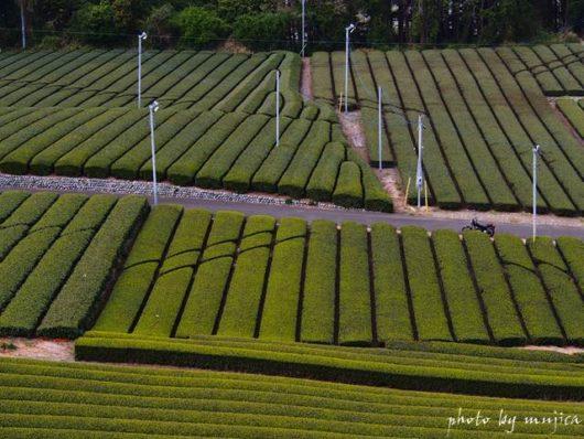 春の茶畑とバイクのある風景