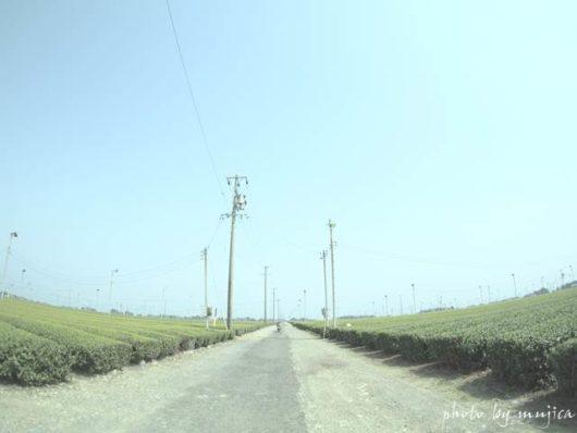 牧之原の茶畑