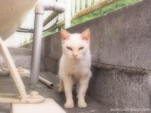 白い野良猫