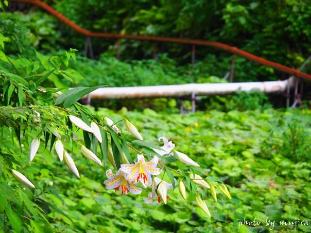 わさび田に咲くユリとモノラックのレール