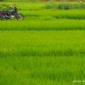 【トウモロコシ畑】夏の田畑とバイクのある風景☆YAMAHA SR125