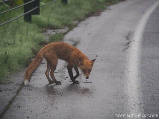 雨に濡れたキタキツネ