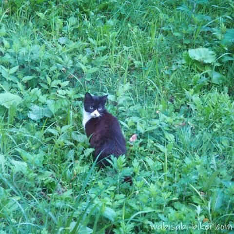 草むらで立ち止まるネコ