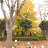 イチョウの黄葉とバイク