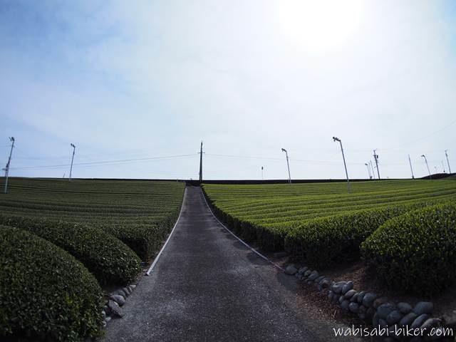 新芽の生えた茶畑と生えていない茶畑
