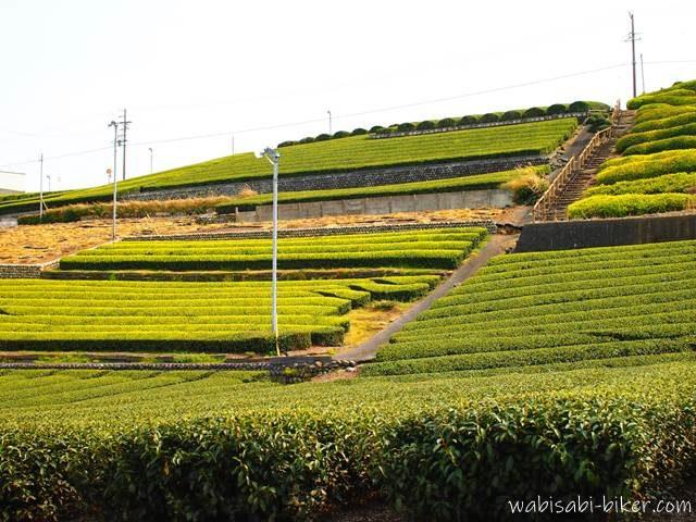 萌える茶畑