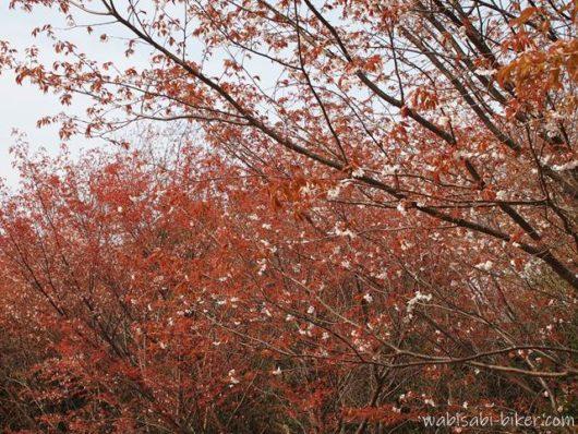 赤い葉の桜